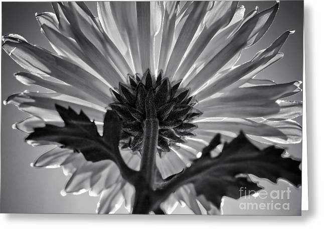 Flower IIi Greeting Card by Liesl Marelli