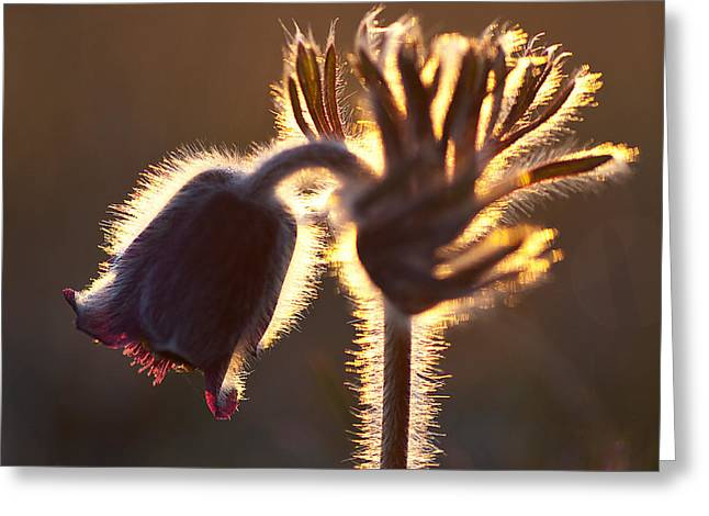 Flower In Back Light Greeting Card