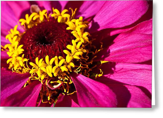 Magenta Zinnia Greeting Card