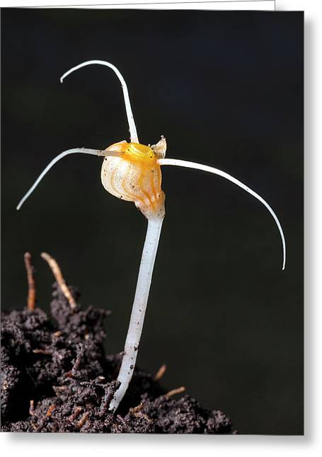 Flower Of An Amazonian Root Parasite Greeting Card