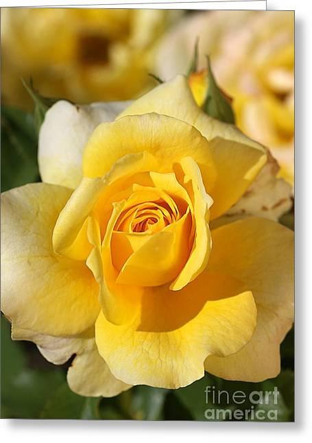 Flower-yellow Rose-delight Greeting Card by Joy Watson