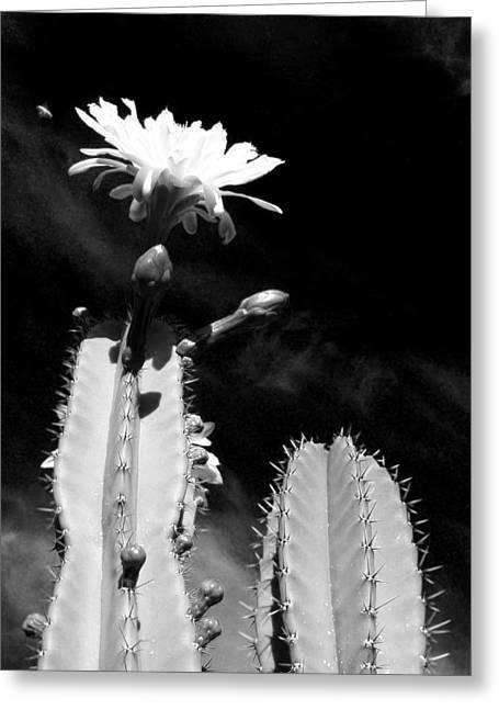 Flowering Cactus 2 Bw Greeting Card