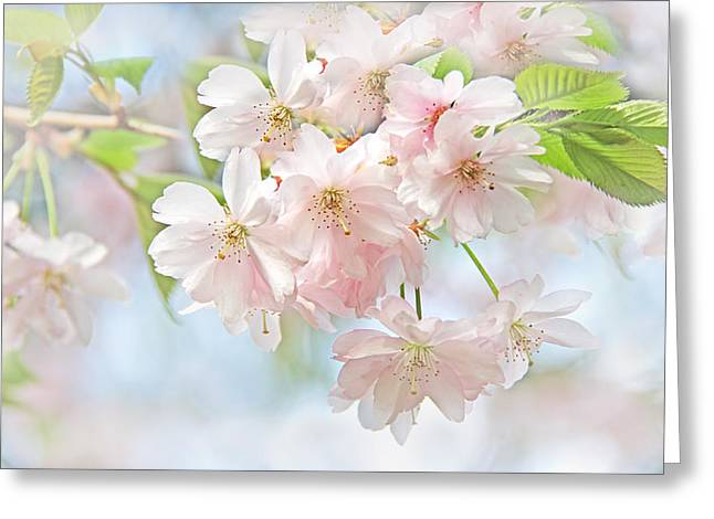 Flowering Cherry Tree Blossoms Greeting Card by Jennie Marie Schell