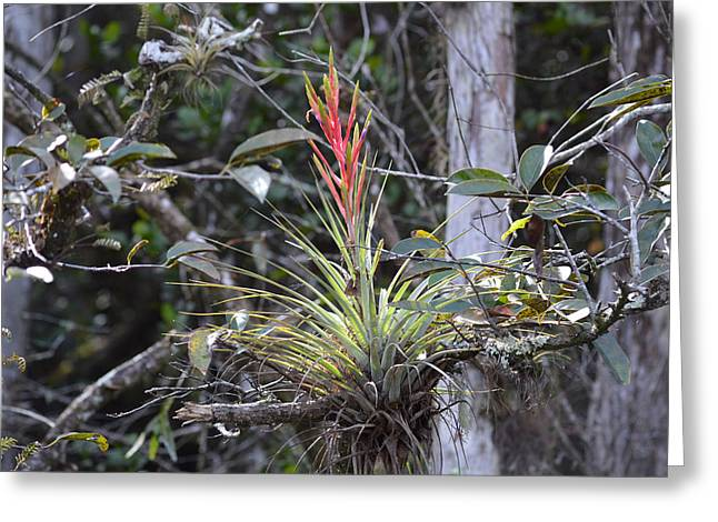 Flowering Everglades Air Plant Epiphyte Bromeliad Greeting Card