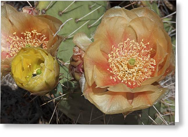Flowering Prickly Pear Greeting Card