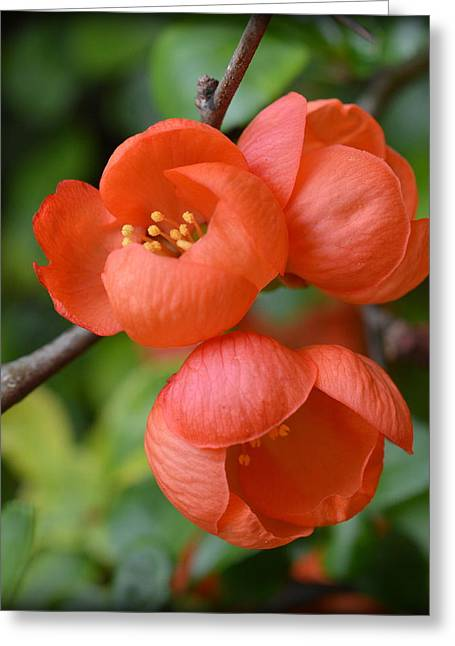 Flowering Quince Greeting Card by Bishopston Fine Art