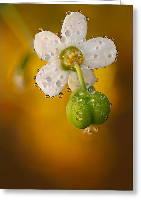 Flowering Spurge  Greeting Card