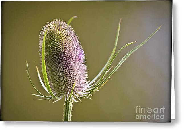 Flowering Teasel. Greeting Card