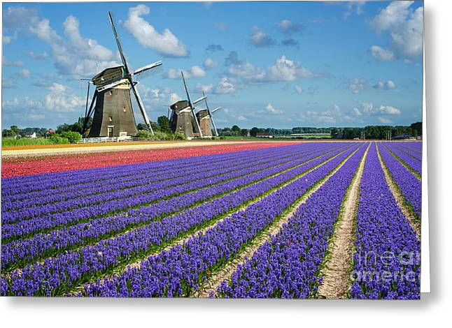 Landscape In Spring With Flowers And Windmills In Holland Greeting Card by IPics Photography