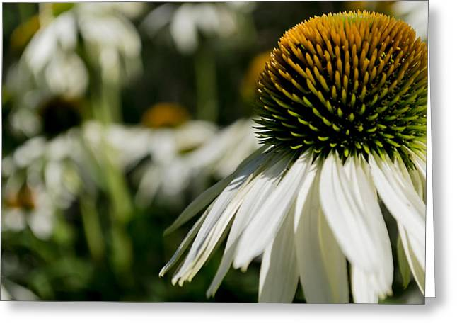 Flowers - Echinacea White Swan Greeting Card