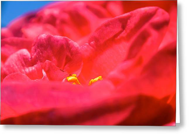 Flowers Of Camellia Greeting Card
