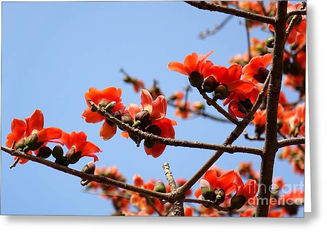 Flowers Of The Red Silk Cotton Tree Greeting Card