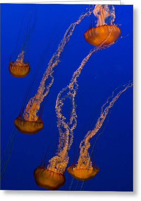 Flowing Pacific Sea Nettles 3 Greeting Card by Scott Campbell