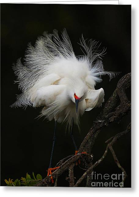 Fluffed Snowy Egret Greeting Card by Jane Axman