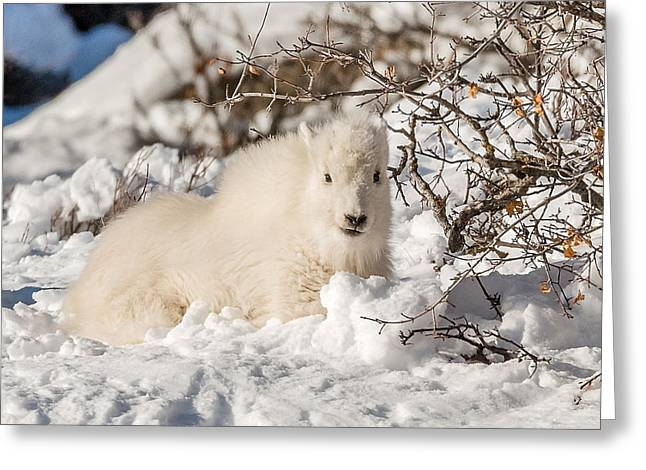 Fluffy Kid On The Mountain Greeting Card by Yeates Photography