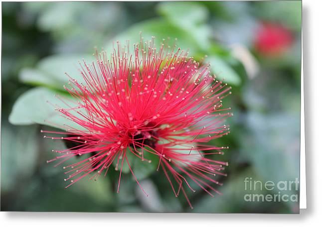 Fluffy Pink Flower Greeting Card by Sergey Lukashin