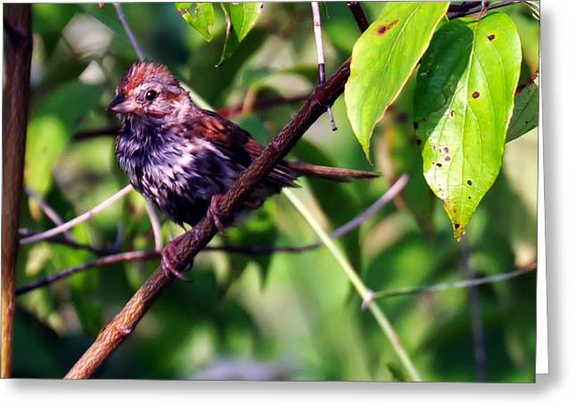 Fluffy Sparrow Greeting Card by Chris Flees