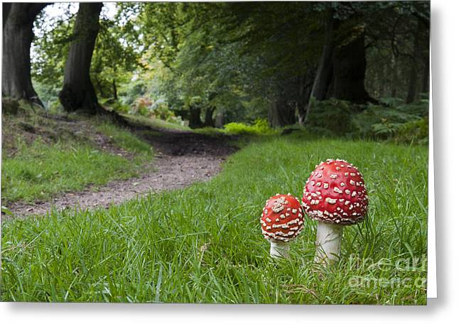 Fly Agaric Mushrooms Greeting Card by Tim Gainey