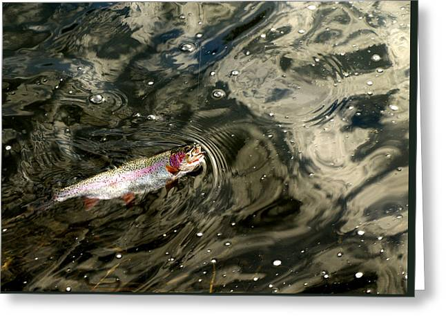 Fly Caught Rainbow Trout Greeting Card by Thomas Young