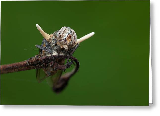 Fly Killed By A Parasitic Fungus Greeting Card