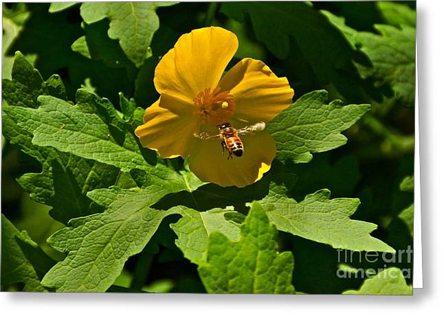 Flying Bee And Wood Poppy Greeting Card by Byron Varvarigos