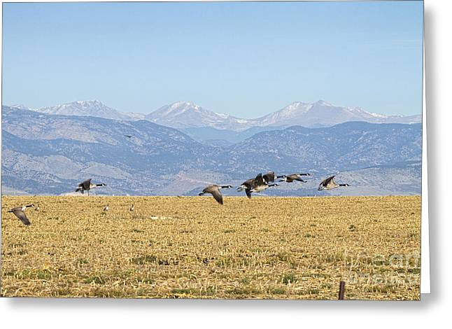 Flying Canadian Geese Rocky Mountains 2 Greeting Card by James BO  Insogna