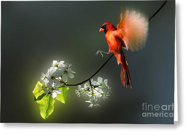 Flying Cardinal Landing On Branch Greeting Card by Dan Friend
