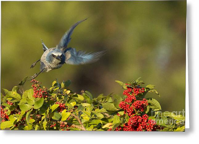 Flying Florida Scrub Jay Photo Greeting Card