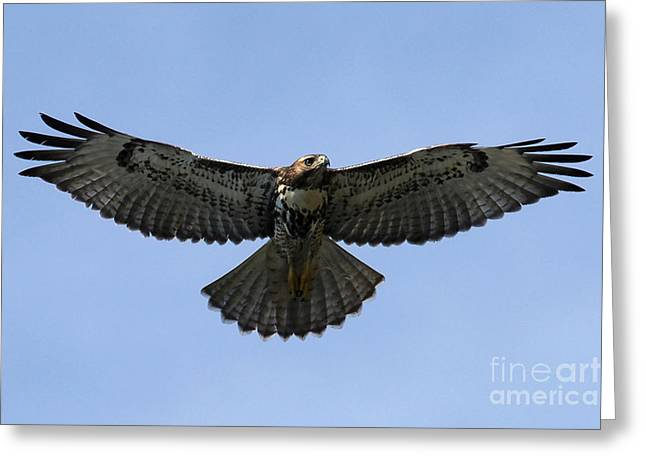 Flying Free - Red-tailed Hawk Greeting Card