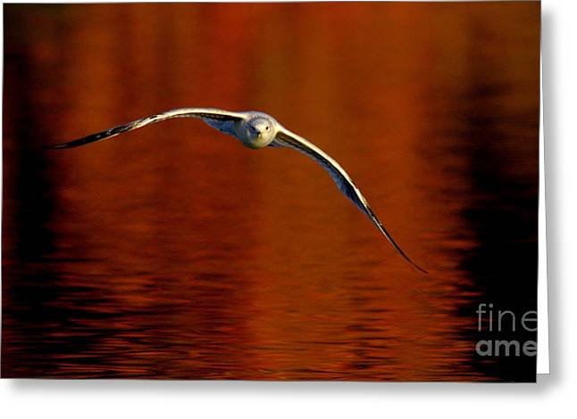 Flying Gull On Fall Color Greeting Card by Robert Frederick