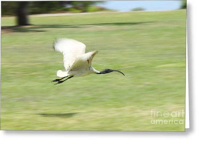 Flying Ibis Greeting Card