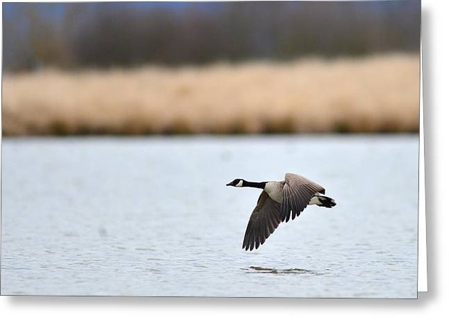 Flying Low Greeting Card by Randy Giesbrecht