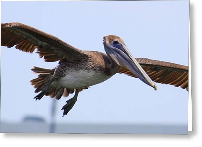 Flying Pelican Panorama Greeting Card