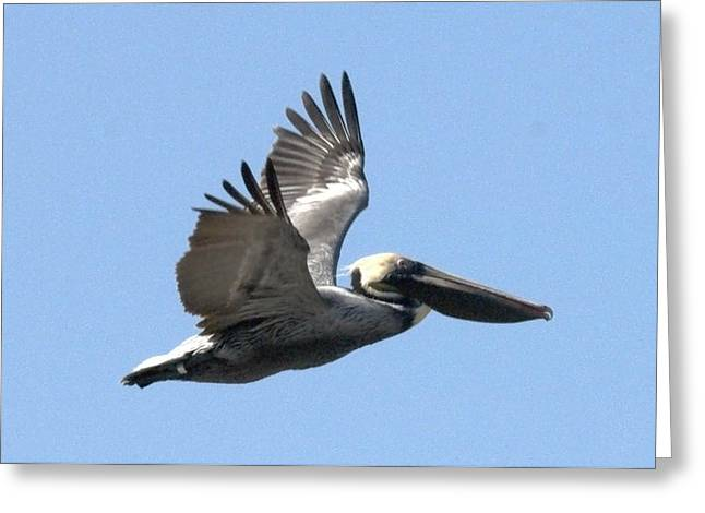 Flying Pelican Greeting Card