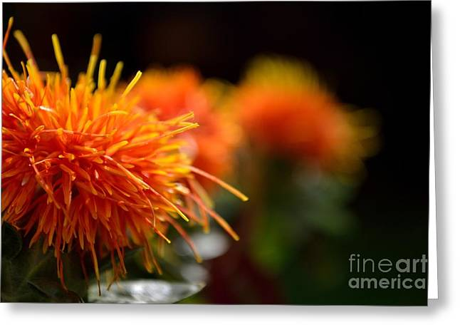 Focused Safflower Greeting Card by Scott Lyons