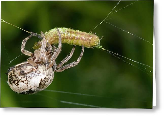 Foliate Spider Feeding Greeting Card by Nigel Downer
