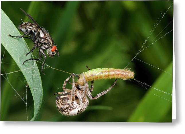 Foliate Spider With Prey And Flesh Fly Greeting Card by Nigel Downer
