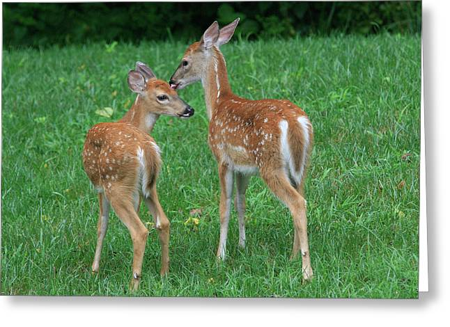 Fond Fawns Greeting Card by Charles Warren