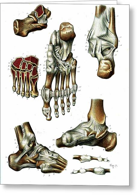 Foot Anatomy Greeting Card
