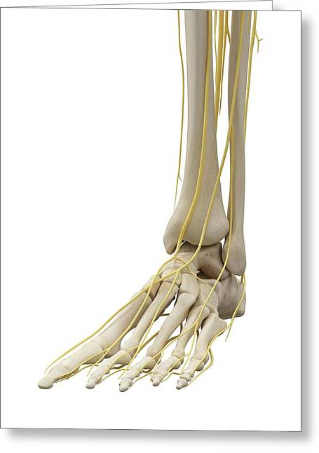 Foot Bones And Nerves Greeting Card by Sciepro