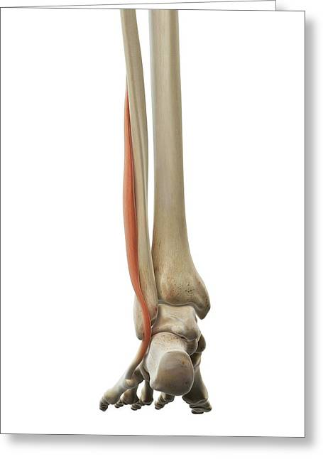 Foot Muscle Greeting Card