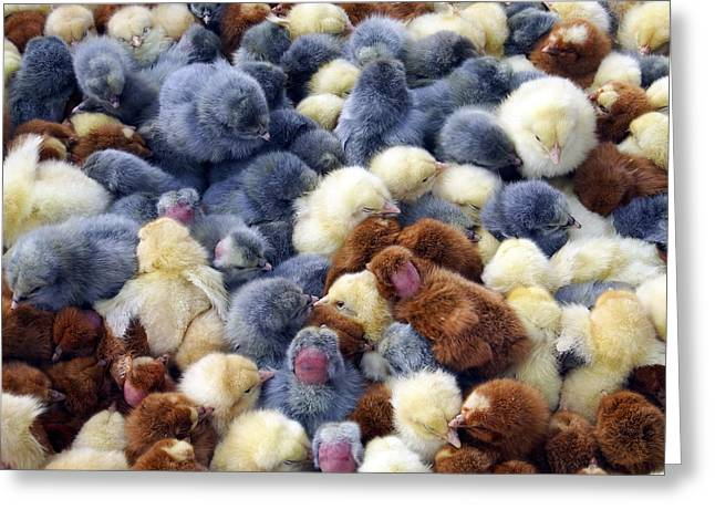 For Sale Baby Chicks Greeting Card by Kurt Van Wagner