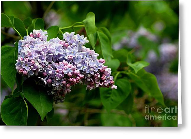 For The Love Of Lilac Greeting Card