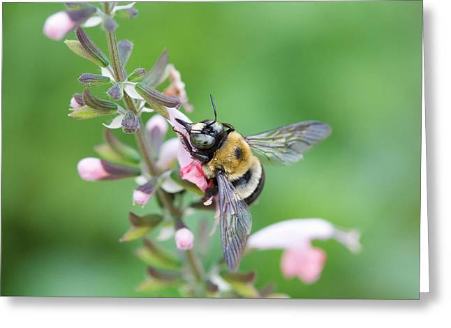 Foraging For Nectar Greeting Card