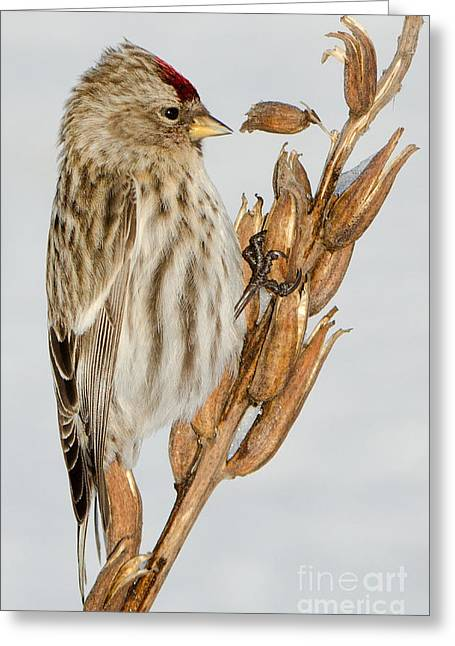 Foraging Redpoll Greeting Card