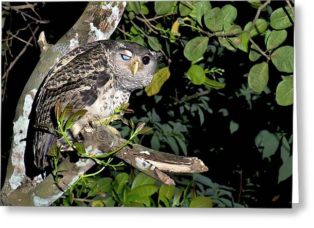 Forest Eagle-owl Greeting Card