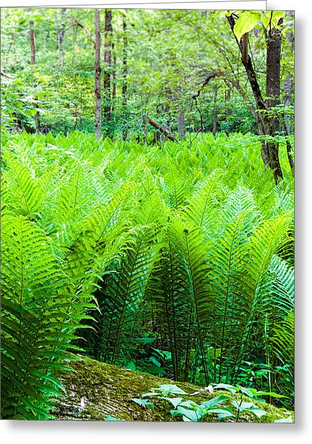 Forest Ferns   Greeting Card