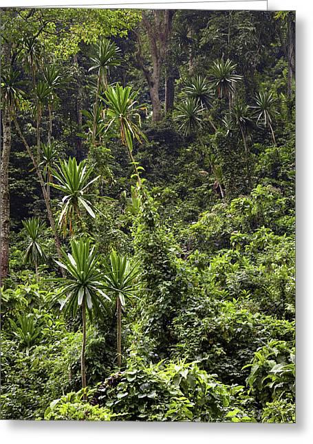 Forest Lobelia (lobelia Gibberoa Greeting Card