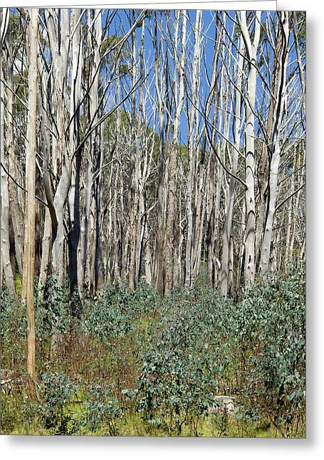 Forest Regeneration After Bushfire Greeting Card by Dr Jeremy Burgess