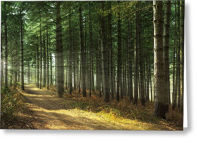 Forest Sun Rays Greeting Card by Svetlana Sewell